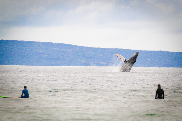 breaching humpback whales - what to expect on maui in the winter