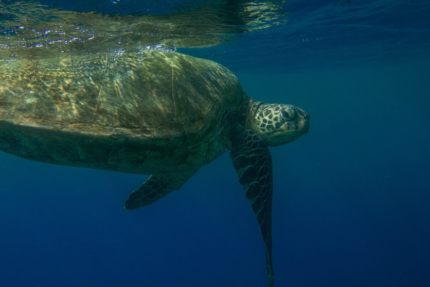 Where to See Turtles on Maui | Green Sea Turtles are regular visitors to Olowalu