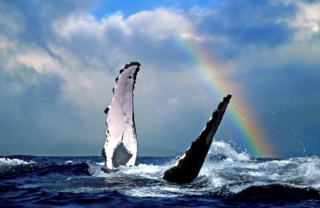 maui humpback whales and rainbow